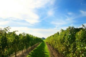 Niagara's world-famous wine country.